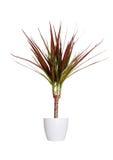 Houseplant - dracaena marginata a potted plant isolated over whi Stock Photos