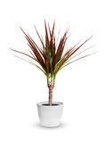 Houseplant - dracaena marginata a potted plant isolated over white royalty free stock images