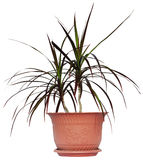Houseplant dracaena palm in brown flowerpot. Isolated Royalty Free Stock Photography