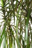 Houseplant dracaena palm, closeup Royalty Free Stock Image