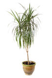 Houseplant dracaena palm in flowerpot Stock Photography