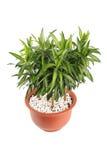Houseplant dracaena reflexa Royalty Free Stock Photo