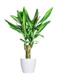 Houseplant - dracaena steudneri stemm a potted plant isolated over white stock image