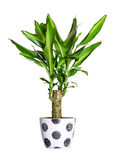 Houseplant - dracaena steudneri stemm a potted plant isolated over white royalty free stock photo
