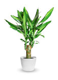 Houseplant - dracaena steudneri stemm a potted plant isolated over white stock photo