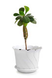 Houseplant euphorbia lophogona in flowerpot Stock Photography