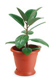 Houseplant ficus. On white background Stock Photos