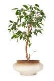 Houseplant ficus benjamina in flowerpot Stock Image