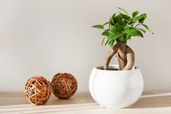Houseplant ficus microcarpa ginseng in white flowerpot Royalty Free Stock Image