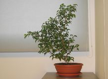 Houseplant ficus in a pot. Beautiful houseplant ficus in a pot is on the table by the window in the office royalty free stock photos
