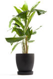 Houseplant - Fishtail Palm Royalty Free Stock Photos