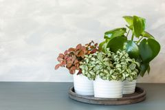 Houseplant fittonia albivenis and peperomia in white flowerpot stock images