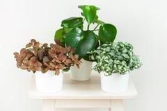 Houseplant fittonia albivenis and peperomia in white flowerpot royalty free stock photo