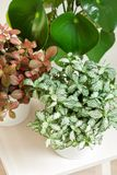 Houseplant fittonia albivenis and peperomia in white flowerpot royalty free stock images