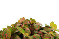 Houseplant fittonia background, closeup Royalty Free Stock Photo