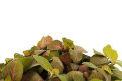 Houseplant fittonia background, closeup Royalty Free Stock Photo