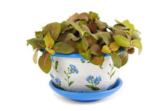 Houseplant fittonia in beauty flowerpot Royalty Free Stock Photos