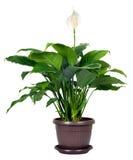 Houseplant - floribundum de Spathiphyllum Fotografia de Stock Royalty Free
