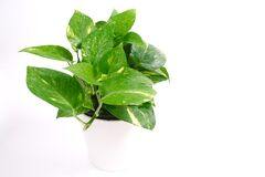 Houseplants, Golden pothos, Devil`s Ivy, vining plant with heart-shaped leaves , Money Plant in pot isolated on white background,