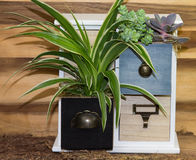 Houseplant growing in cubby. Spider-plant houseplant growing in wooden cubby drawer Royalty Free Stock Photography