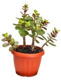 Houseplant grubosz lub monetarny drzewo Obrazy Stock