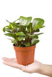 Houseplant in hand Royalty Free Stock Images