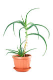 Houseplant. Indoor plant on a white background royalty free stock image