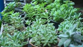 Houseplant joven del jade en jardín botánico almacen de metraje de vídeo