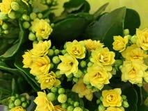 Houseplant - Kalanchoe όμορφα λουλούδια στοκ φωτογραφίες με δικαίωμα ελεύθερης χρήσης