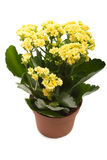 Houseplant 'Kalanchoe' Stock Photography
