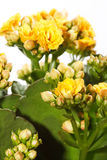 Houseplant 'Kalanchoe' in pot Royalty Free Stock Images