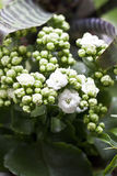Houseplant kalanchoe. Houseplant white kalanchoe in detail Stock Photography