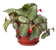 The houseplant Koleriya Royalty Free Stock Photography