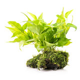 Houseplant met mos stock fotografie