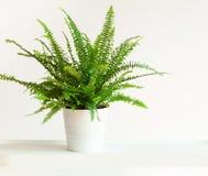 Houseplant Nephrolepis in white flowerpot stock photography