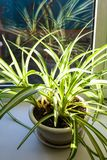 houseplant no potenciômetro iluminado pela luz do sol fotos de stock royalty free
