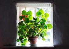 Houseplant op de vensterbank in donkere ruimte Stock Fotografie