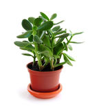 Houseplant op witte achtergrond stock foto