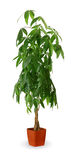 Houseplant - Pachira aquatica a potted plant isolated over white Stock Image