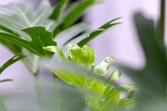 Houseplant palm. green leafs of monstera indoors. stock photo