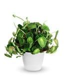Houseplant - Peperomia caperata doniczkowa roślina odizolowywająca nad whi Zdjęcie Royalty Free