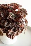 Houseplant peperomia caperata in white flowerpot royalty free stock image