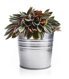 Houseplant Peperomia in a flowerpot. In the form of a metal bucket isolated on white Royalty Free Stock Photography