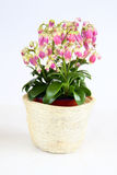 Houseplant with pink small bloom Stock Images