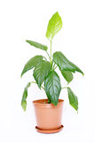 Houseplant in a Pot. Houseplant aglaonema modestum with big green leaves in a brown pot isolated on white background Stock Photo