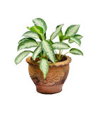 Houseplant in pot Stock Photo