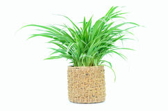 Houseplant in pot. Isolated on white background Royalty Free Stock Photo