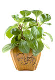 Houseplant in pot Royalty Free Stock Image