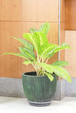 Houseplant in pot Royalty Free Stock Photos