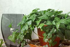 Houseplant in a pot. Green plant close up royalty free stock photo